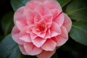camellia-